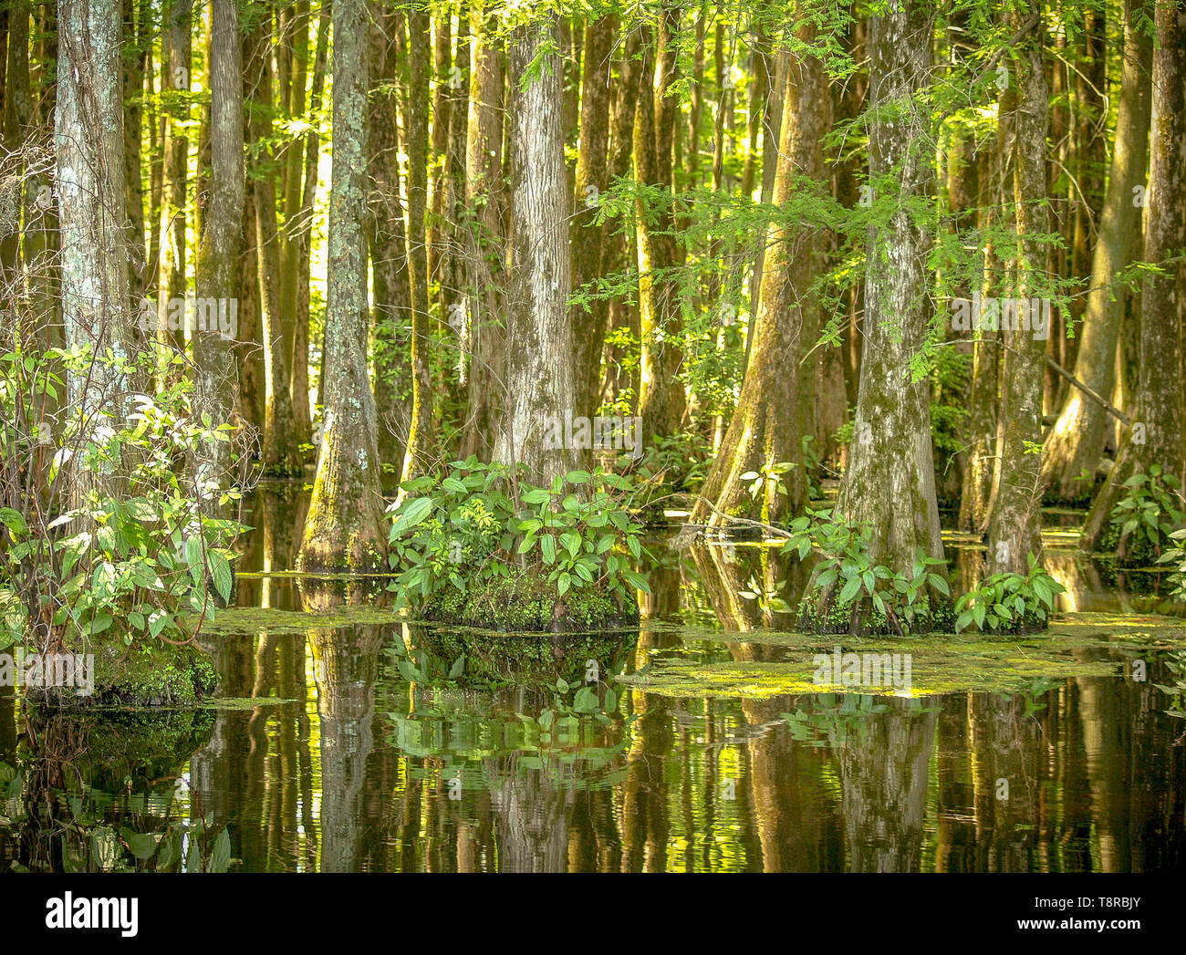 Cypress trees on Greenfield Lake, North Carolina reflections with the sun shining through in midday Stock Photo