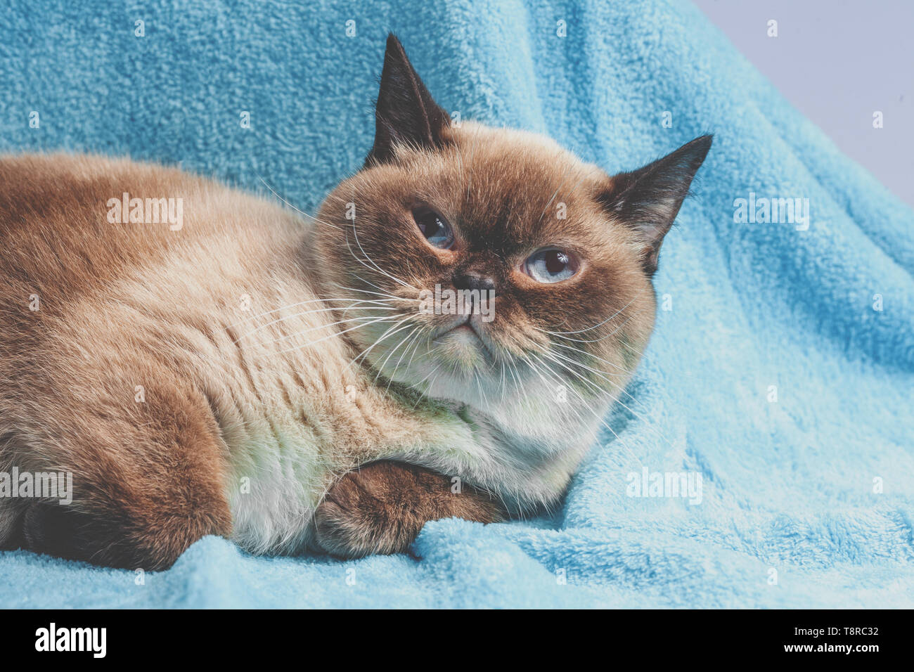 Portrait Of The Colorpoint British Shorthair Cat Stock Photo Alamy