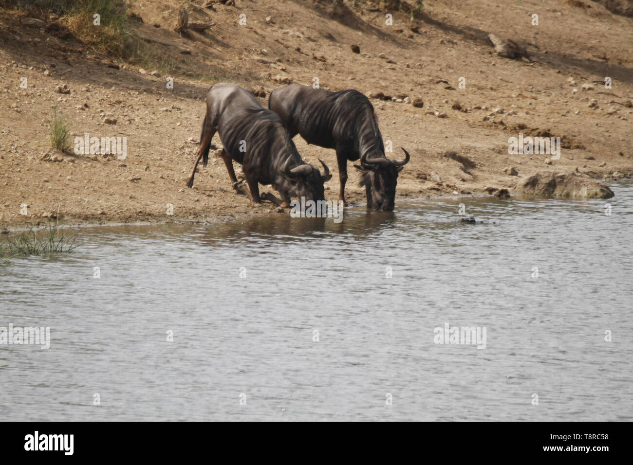 Wildebeest drinking from a river - Stock Image