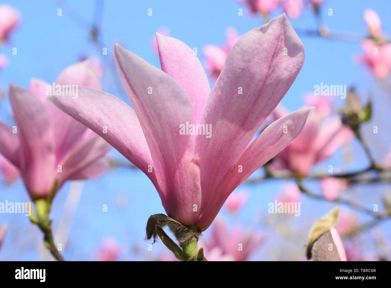 Magnolia 'Heaven Scent'. Rosy pink blossoms of Magnolia 'Heaven Sent' in April - UK. AGM Stock Photo