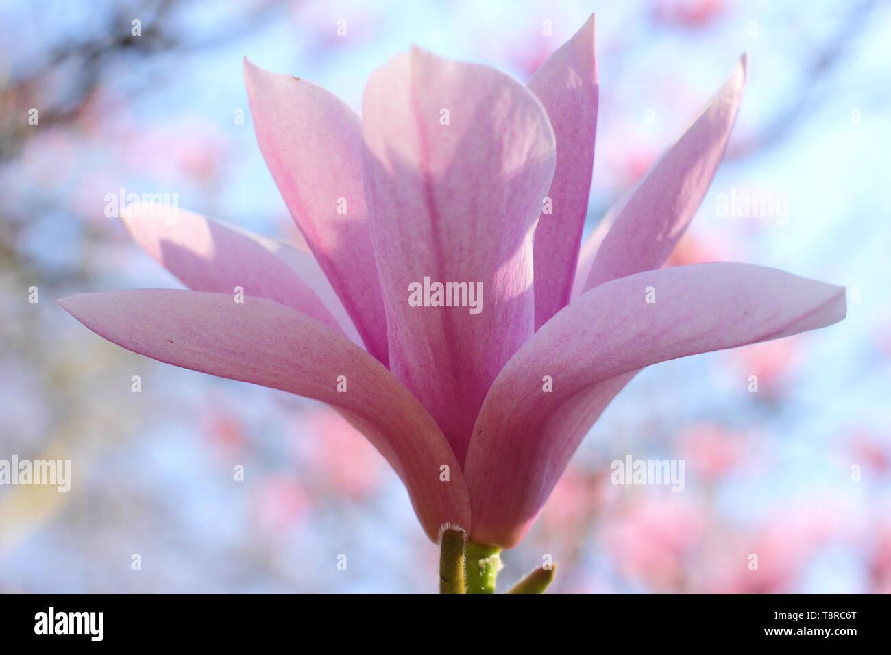 Magnolia 'Heaven Scent'. Rosy pink blossoms of Magnolia 'Heaven Sent' in April - UK. AGM - Stock Image