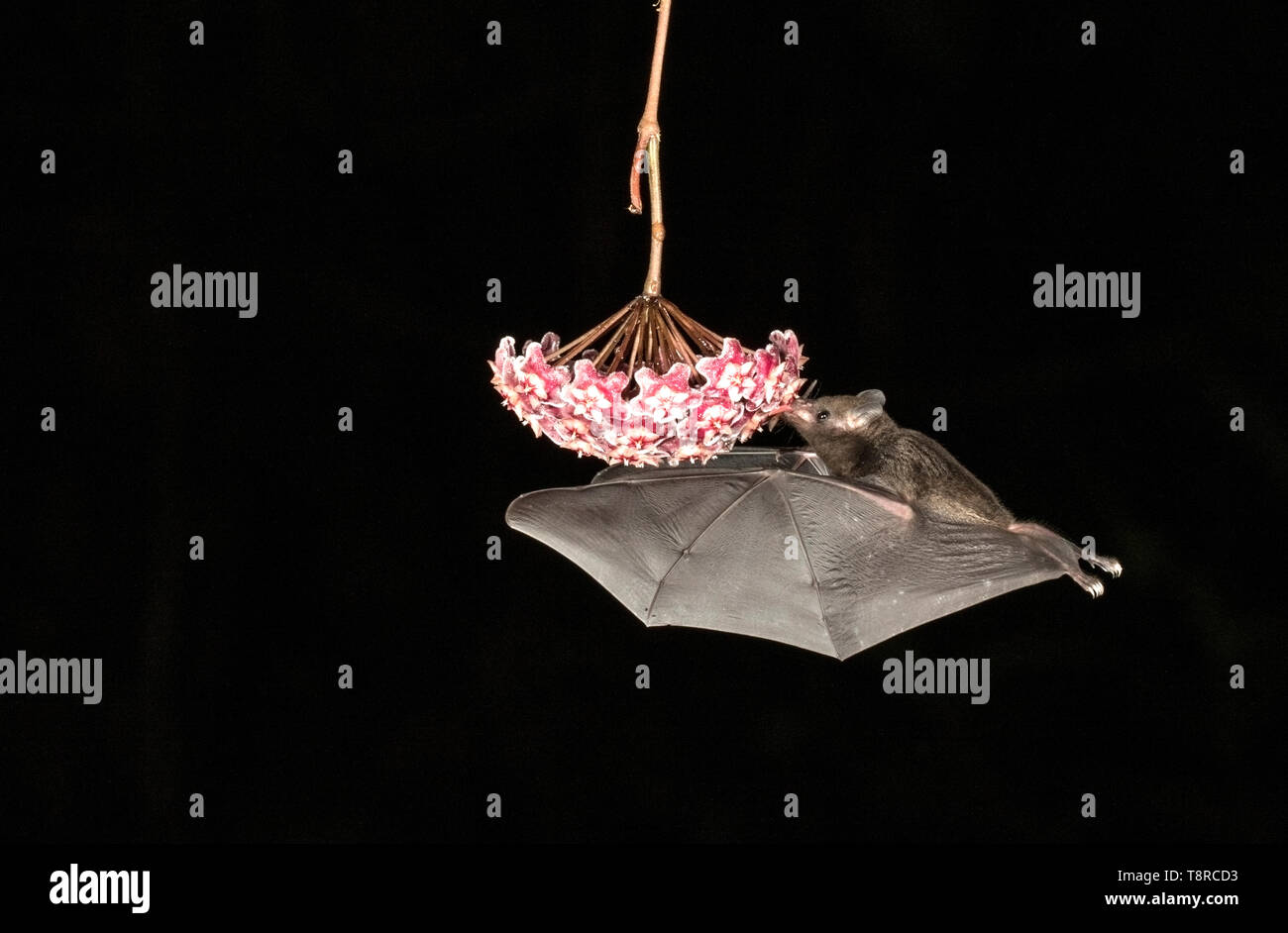 tropical bat, feeding on nectar on flower in rainforest at night, Laguna de Lagarto, Costa Rica 1 April 2019 - Stock Image
