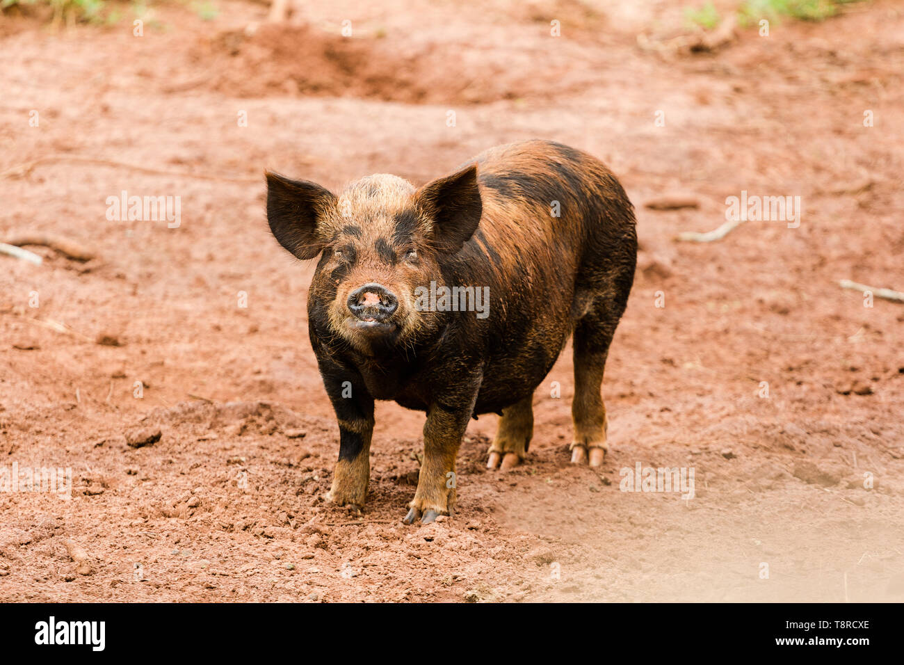 A caipira pig seen on a farm in Brazil. Livestock farming has a great relevance in Brazilian exports, in addition to supplying the domestic market. It is an economic activity developed in rural areas. Agriculture in Brazil is one of the main bases of the country's economy. Agriculture is an activity that is part of the primary sector where the land is cultivated and harvested for subsistence, export or trade. Stock Photo