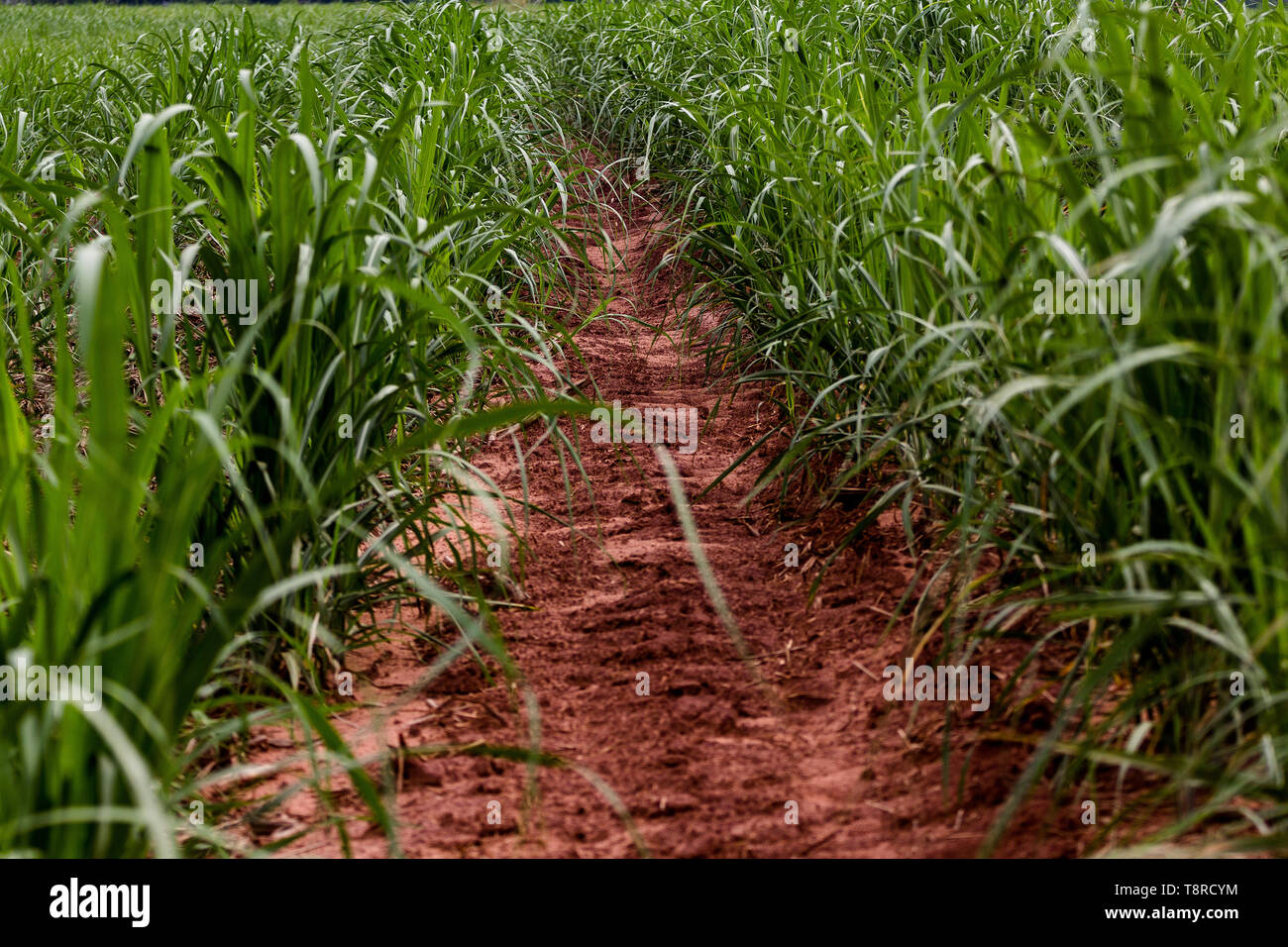 A foot path seen in a field of sugar cane. Brazil became a model of diversification of the use of sugar cane as a raw material, manufacturing varied products from the plant. Agriculture in Brazil is one of the main bases of the country's economy. Agriculture is an activity that is part of the primary sector where the land is cultivated and harvested for subsistence, export or trade. Stock Photo