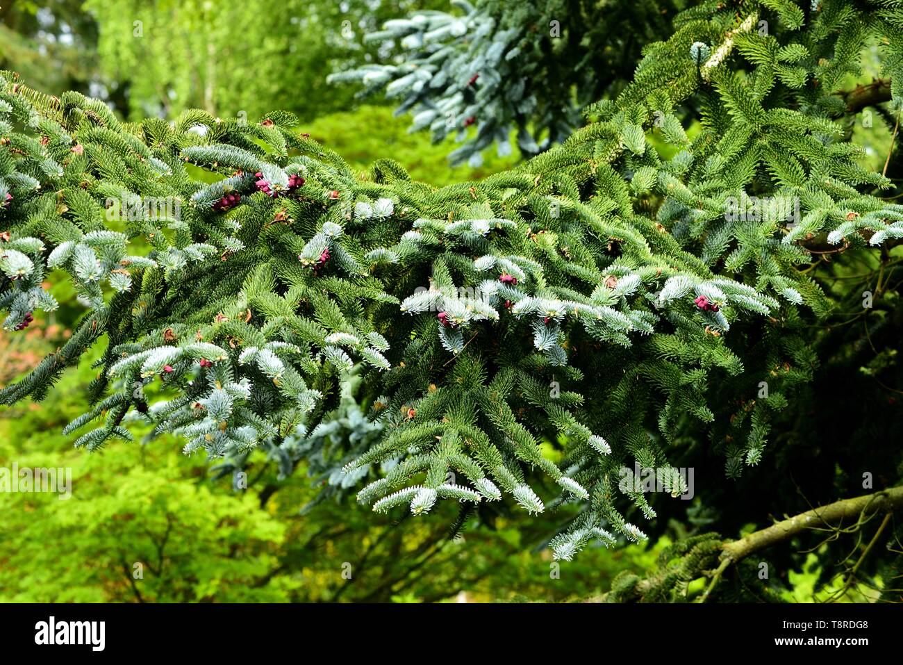 A branch of the Blue Noble Fir. - Stock Image