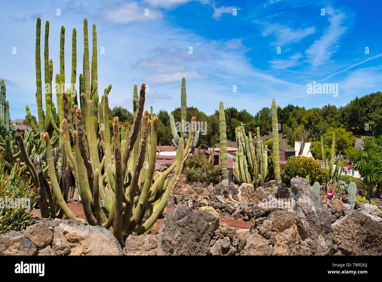 LANZAROTE, CANARY ISLANDS, SPAIN - APRIL 15, 2019: Different types of cacti / cactus alley in the park. Themed Rancho Texas Park on Lanzarote Island. Stock Photo