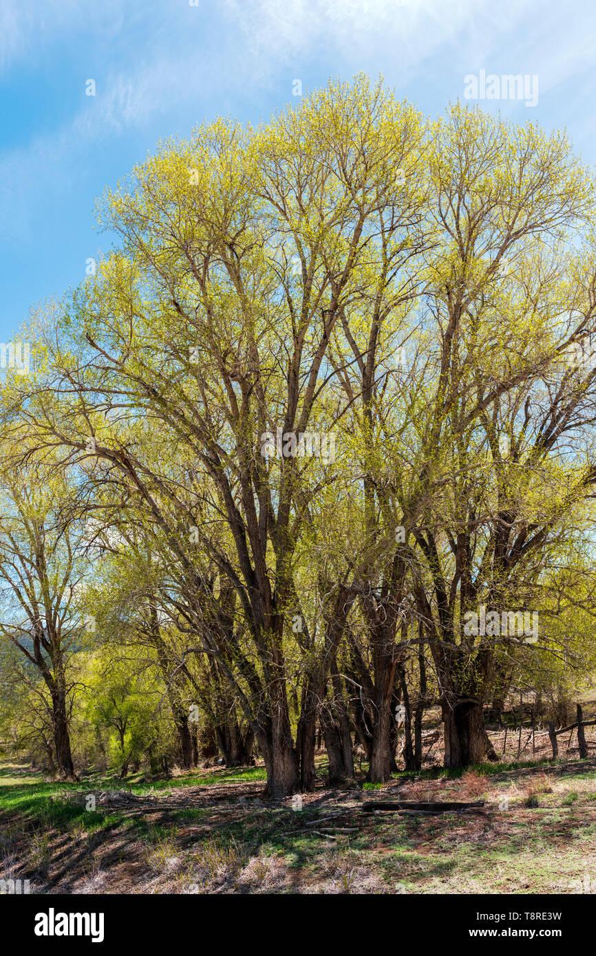 Cottonwood Tree s(Populus deltoides) in fresh springtime green bloom; Vandaveer Ranch; Salida; Colorado; USA Stock Photo