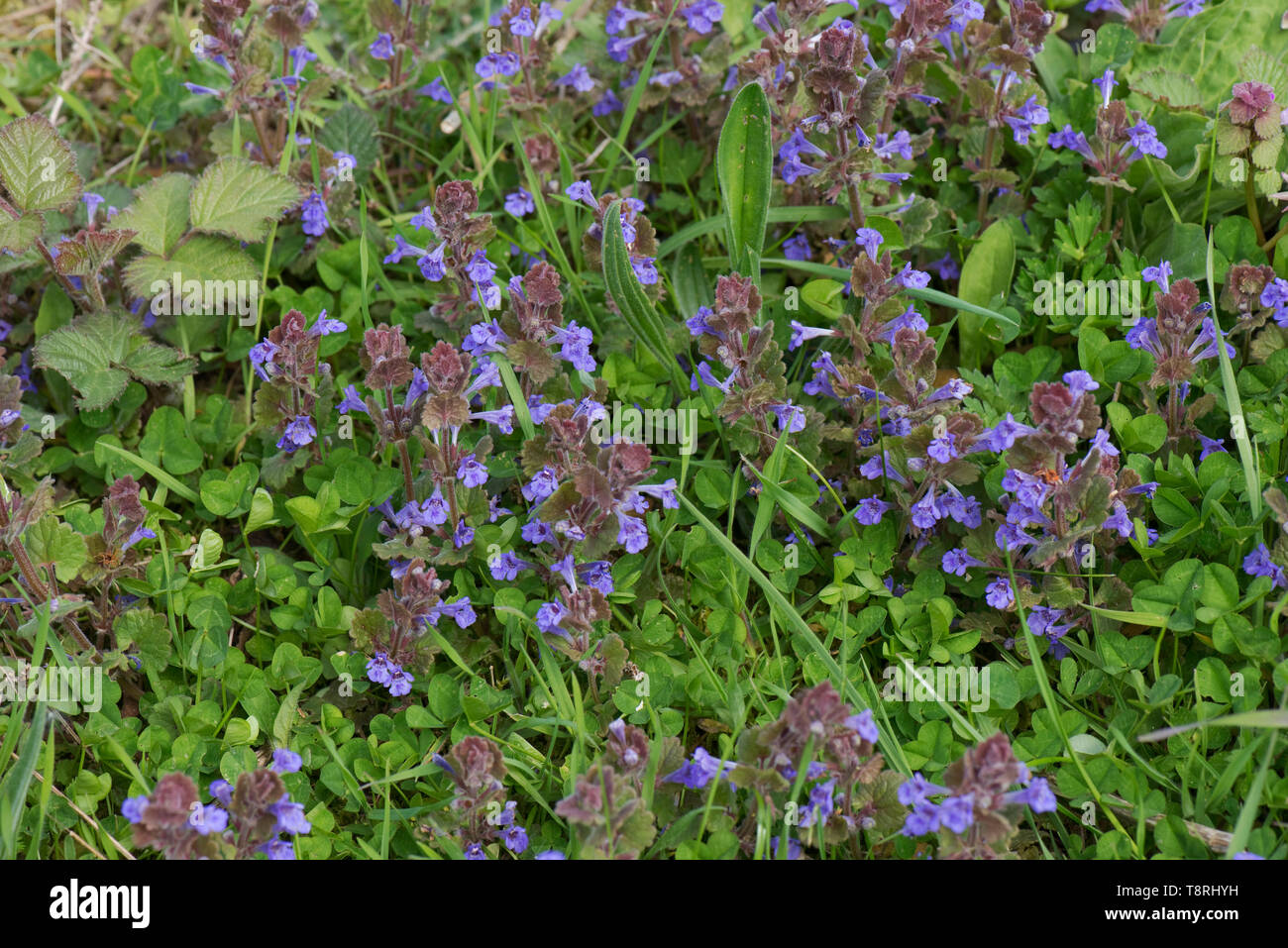 Ground-ivy (Glechoma hederacea) blue flowers on prostrate evergreen creeper, Berkshire, April - Stock Image