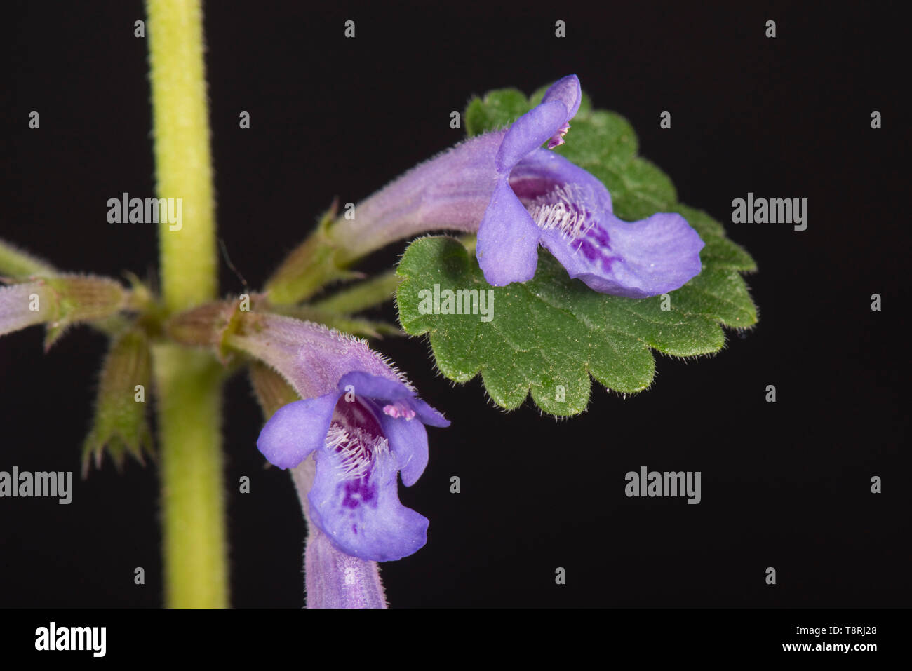 Ground-ivy (Glechoma hederacea) blue flowers on prostrate evergreen creeper against black background, Berkshire, April - Stock Image