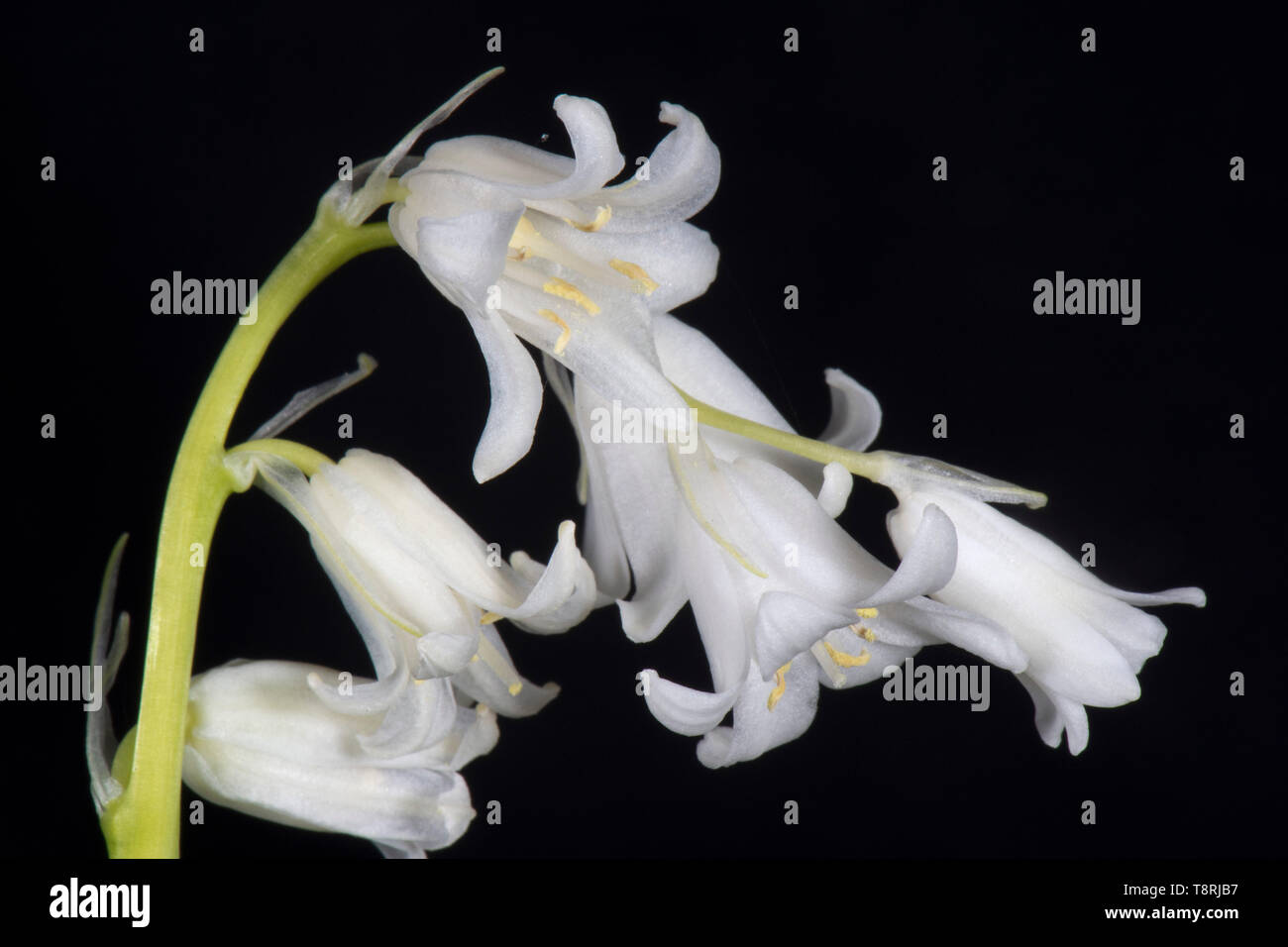 White Spanish bluebell (Hyacinthoides hispanica) flowers against a black background, Berkshire, April - Stock Image