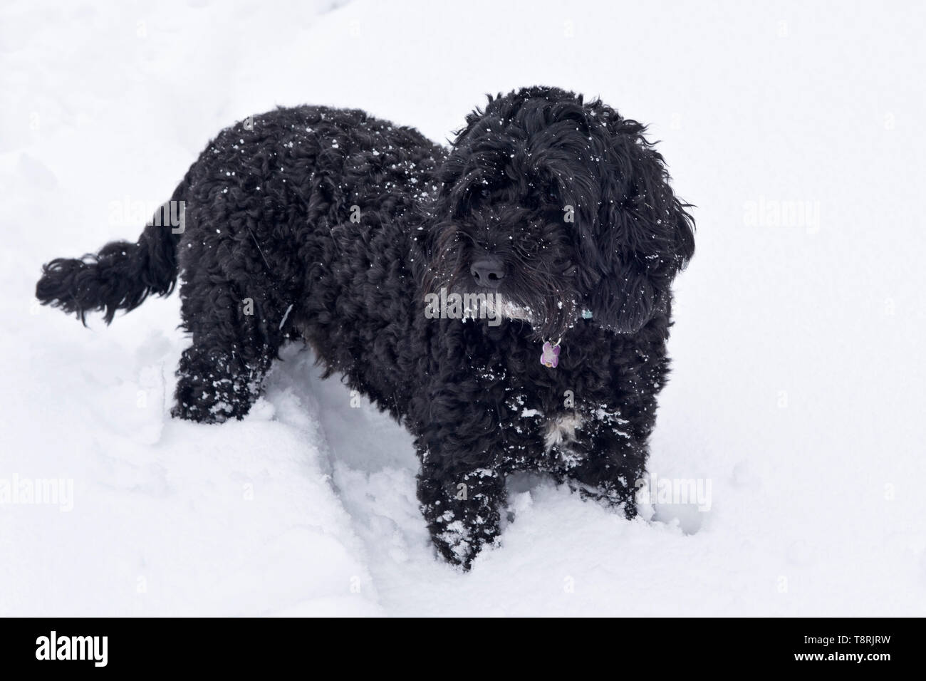 A small black dog, cockerpoo, with his legs buried deep in a fresh layer of white snow, Berkshire, February - Stock Image