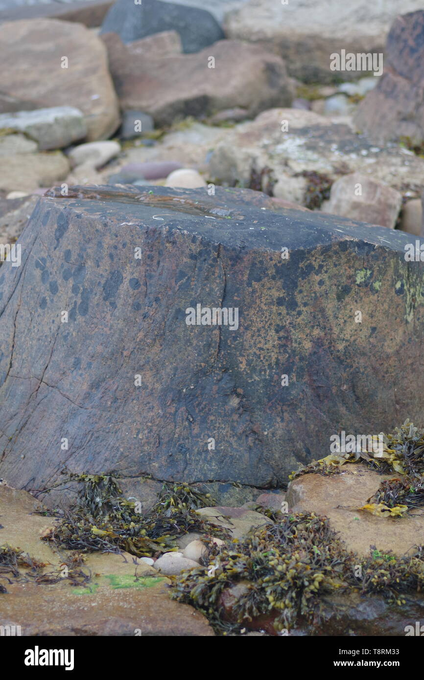 Fossilised Carboniferous Lepidodendron Tree Trunk on the Beach at Crail, Fife, Scotland, UK. Stock Photo