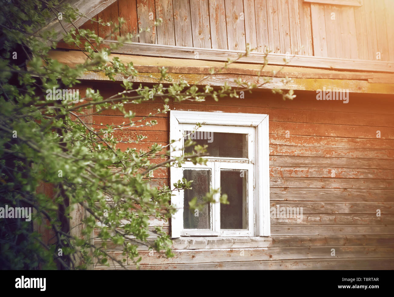 Old wooden dilapidated village house with a white frame on the window, in the spring sunny garden which grows an Apple tree - Stock Image