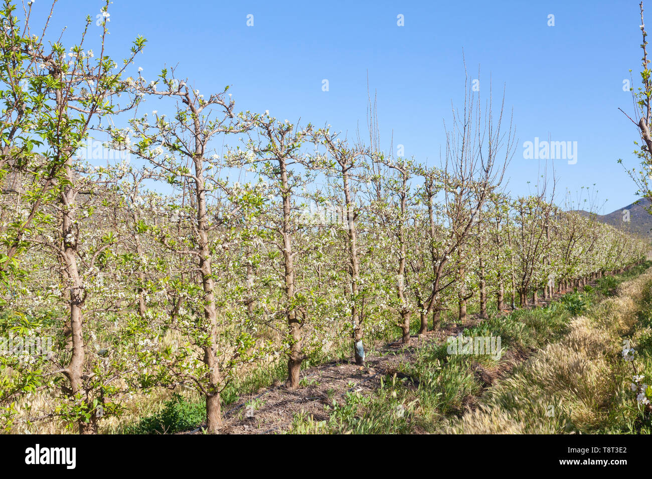 Row of neat pruned and trellised peach trees in an orchard  on a farm in spring with white  spring blossom, crop, agriculture, agronomy - Stock Image