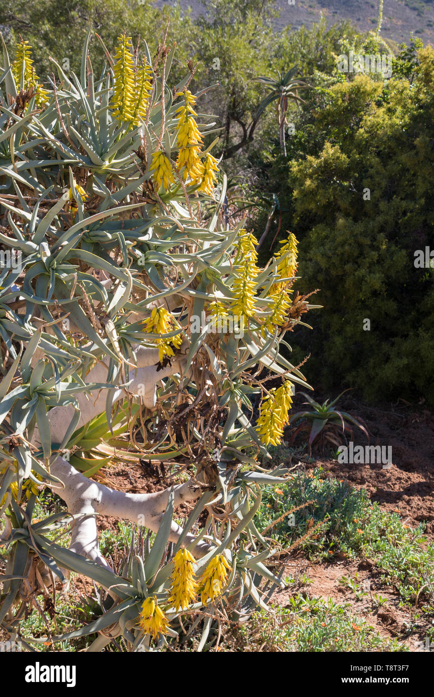 Aloidendron dichotomum, (Aloe dichotoma, Quiver Tree) in flower. Closeup on yellow flowers in early winter, Karoo Desert National Botanical Garden, Wo - Stock Image