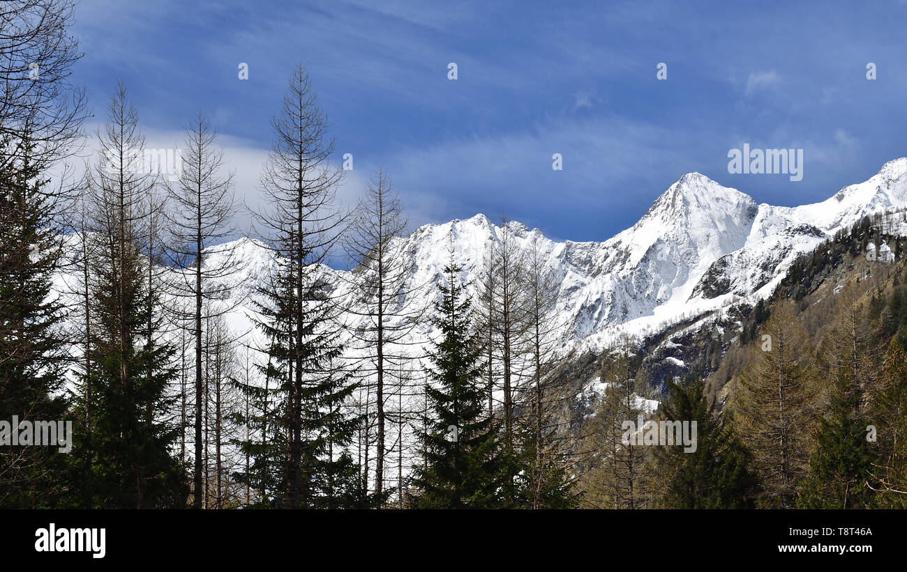 Straight coniferous trees in Valmalenco. In the background the mountains of the Disgrazia mountain group. - Stock Image