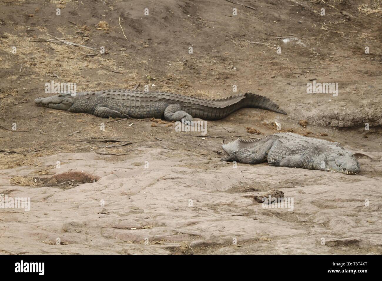 huge Nile crocodiles on a river bank - Stock Image