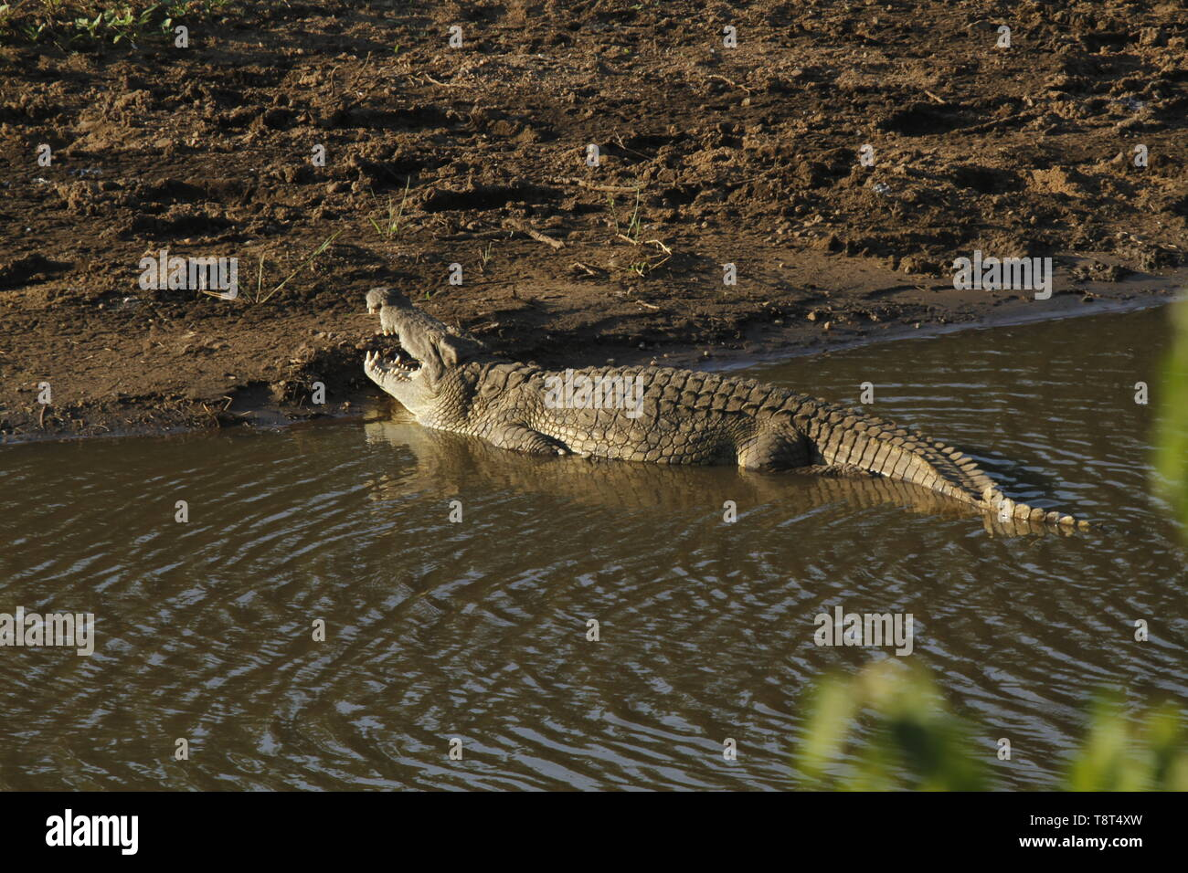 Large Nile crocodile at the edge of a river with mouth wide open - Stock Image