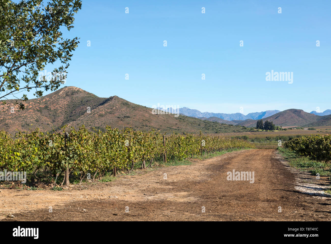 Scenic view of vineyards on Bon Courage Wine Estate with the Riviersonderend Mountains, Robertson Wine Valley, Western Cape Winelands, South Africa - Stock Image