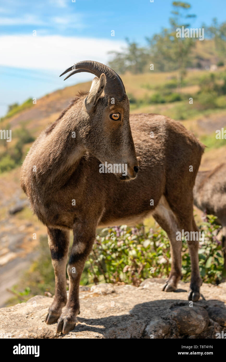 Vertical close up of a Nilgiri tahr in India. Stock Photo