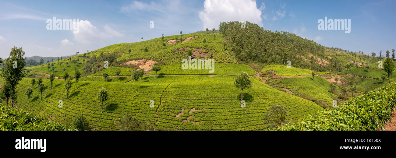 Horizontal panoramic view of tea plantations in Munnar, India. Stock Photo
