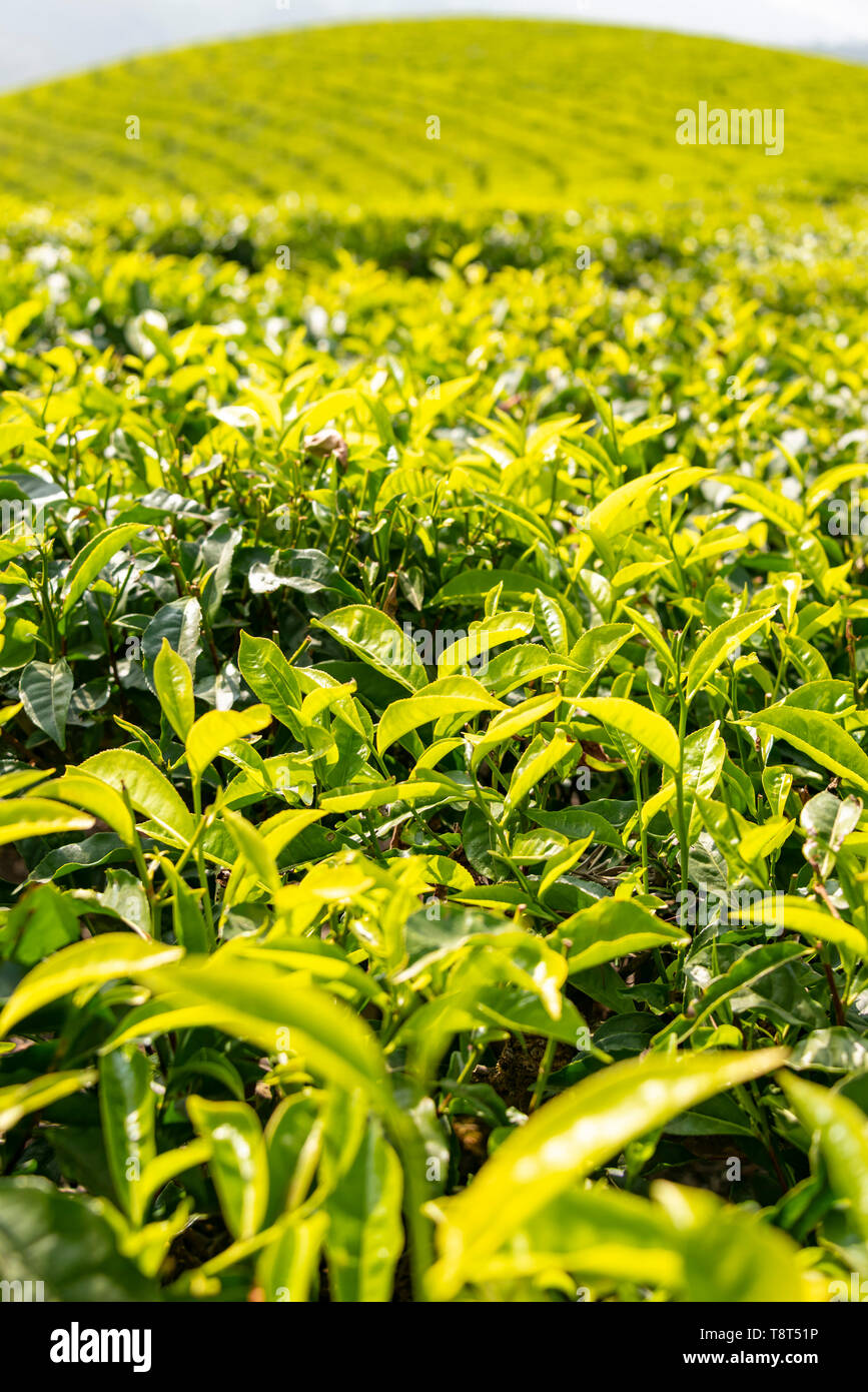 Vertical close up of tea growing on a plantation in Munnar, India. Stock Photo
