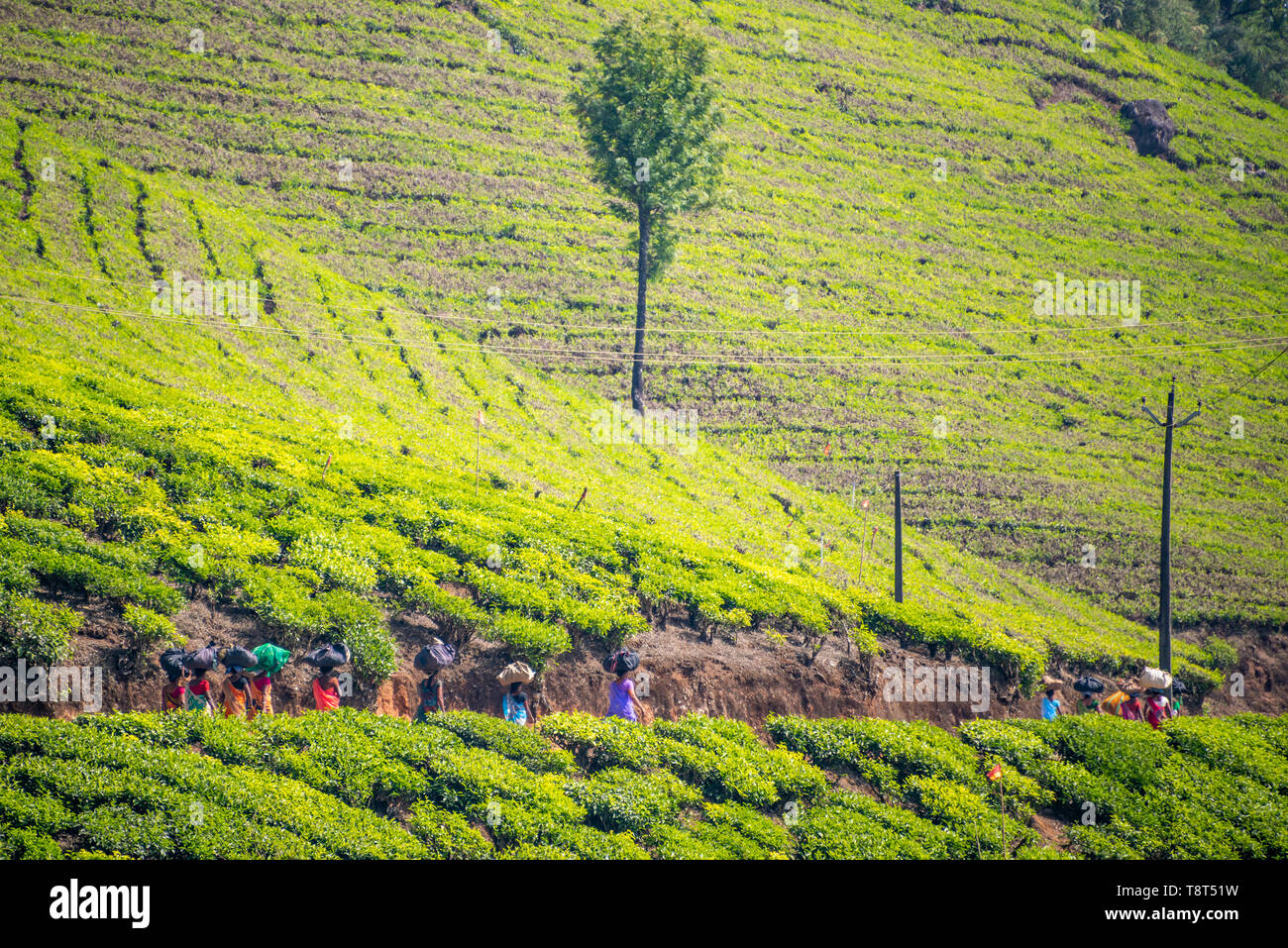 Horizontal view of tea plantation workers walking home in Munnar, India. Stock Photo
