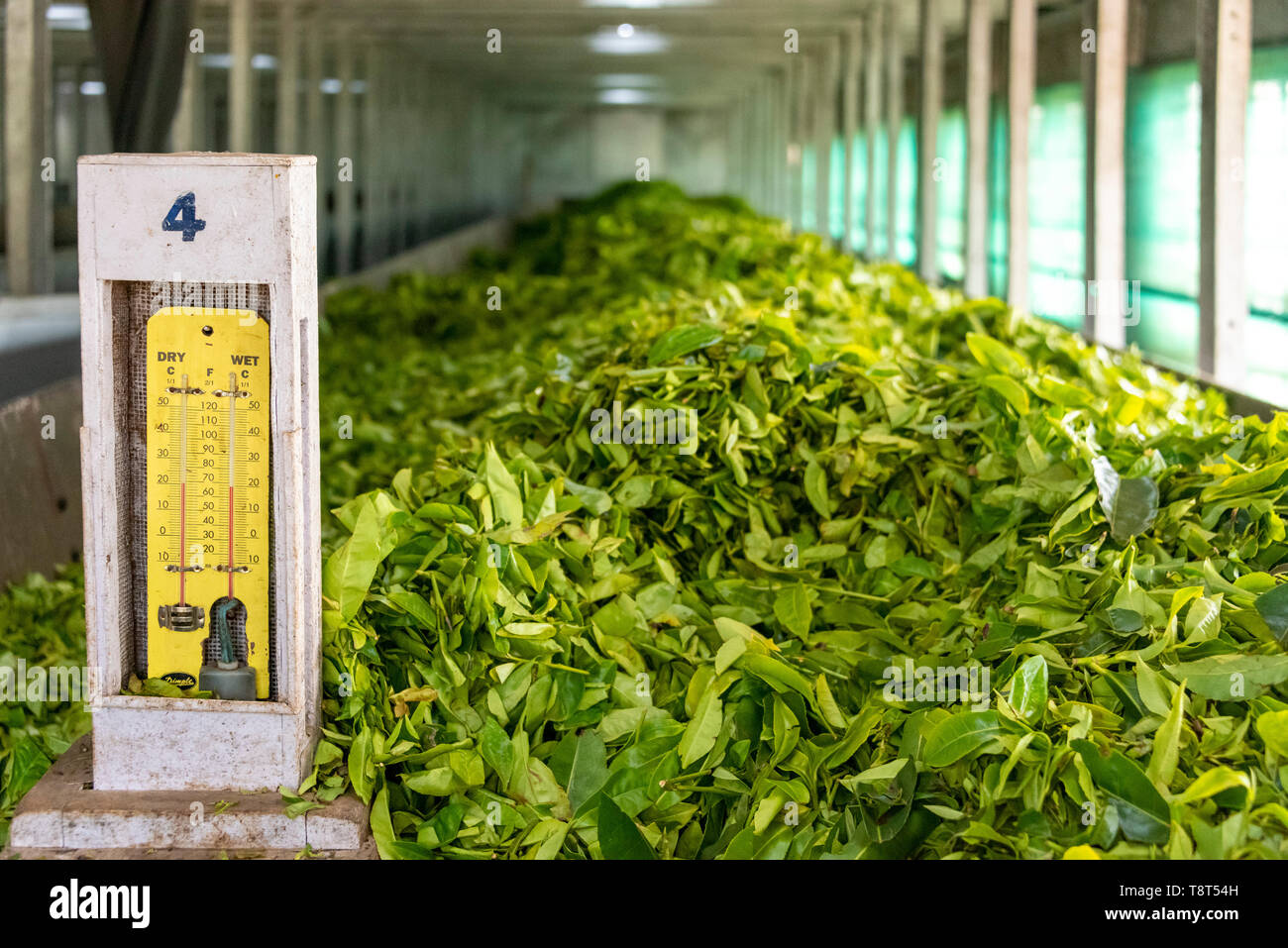 Horizontal view of tea leaves withering at a tea factory in Munnar, India. - Stock Image