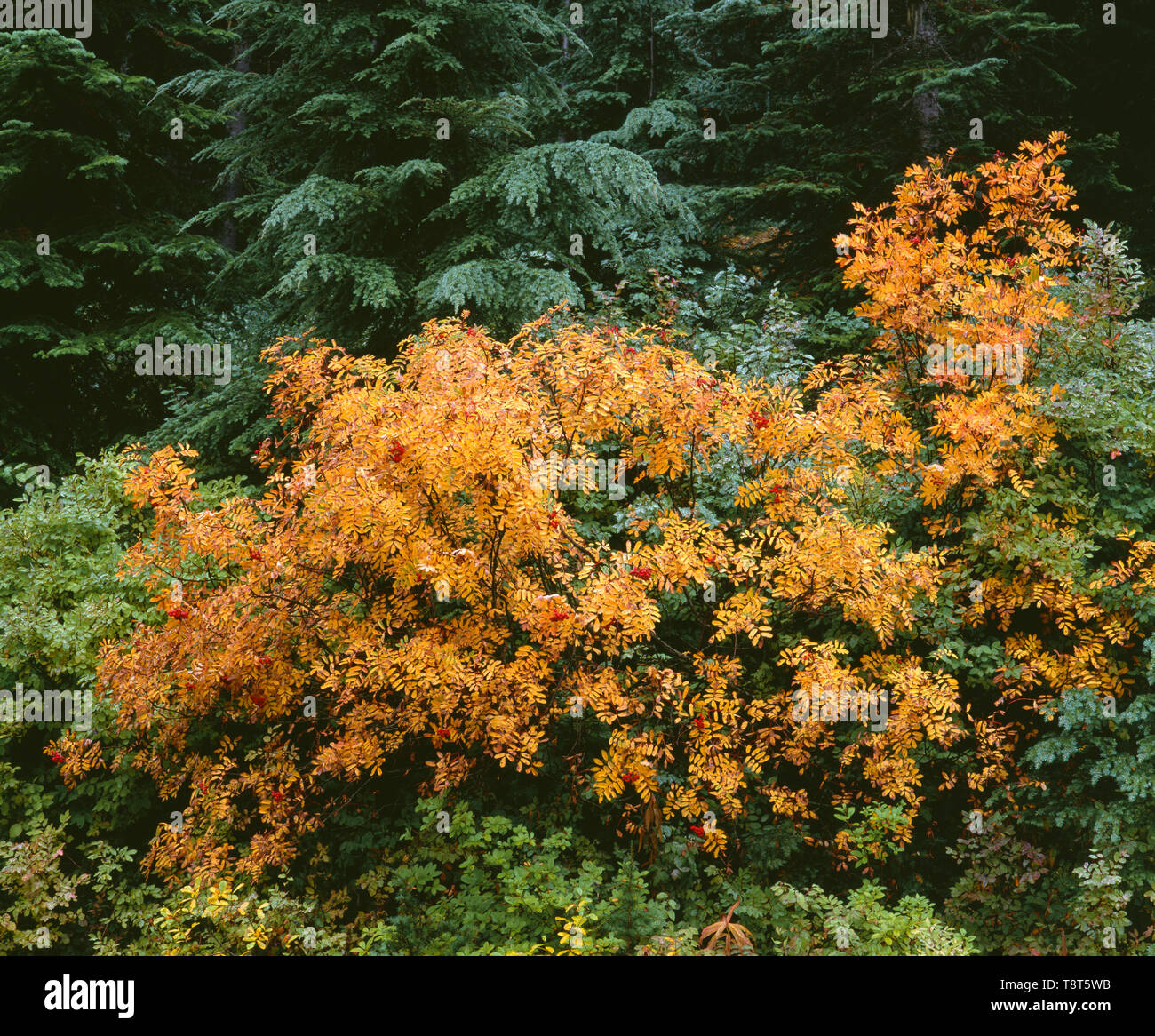USA, Washington, Mt. Baker Snoqualmie National Forest, Fall colors of mountain ash contrasts with evergreen firs; Tonga Ridge Road. - Stock Image