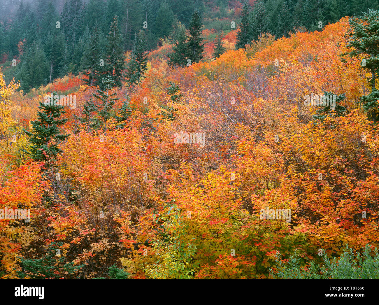 USA, Washington, Mt. Baker Snoqualmie National Forest, Fall colors of vine maple and scattered conifers near Stevens Pass. - Stock Image