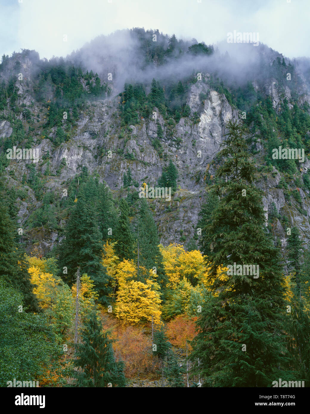USA, Washington, Mt. Baker Snoqualmie National Forest, Foggy upper slopes of Sheep Mountain above fall colored maples. - Stock Image