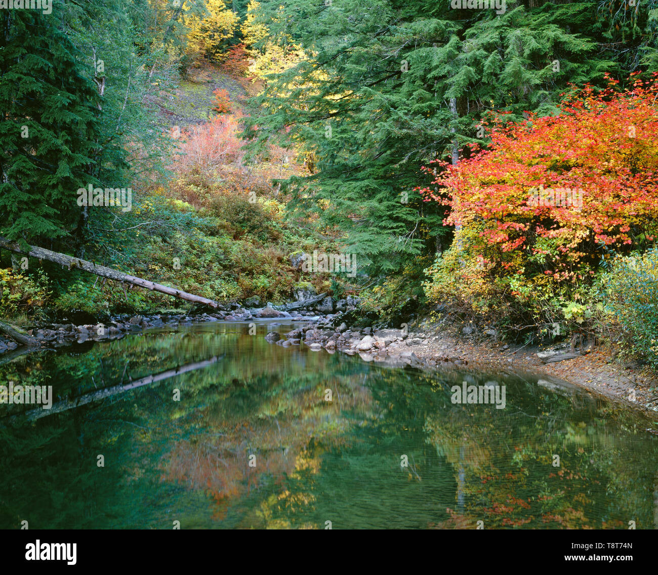 USA, Washington, Mt. Baker Snoqualmie National Forest, South Fork Sauk River reflects evergreen trees and autumn colored vine maple. - Stock Image
