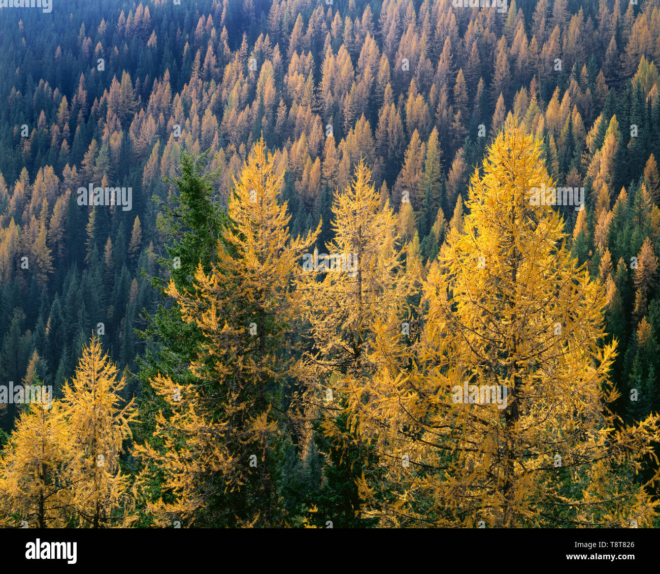 USA, Washington, Colville National Forest, Autumn colored western larch trees stand out in mixed coniferous forest with Douglas fir and pine. - Stock Image