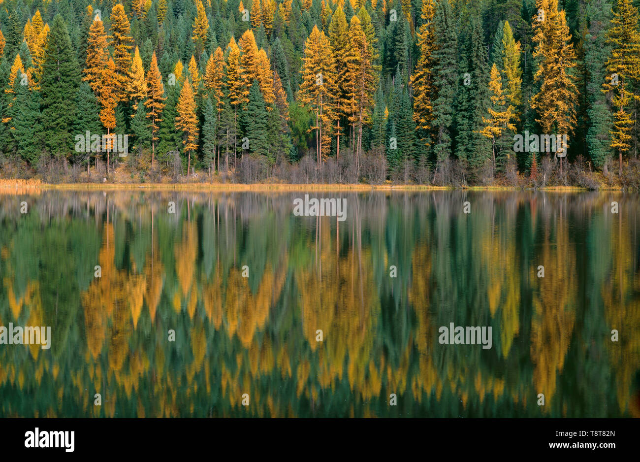 USA, Washington, Colville National Forest, Autumn colored western larch trees and evergreen conifers reflect in small lake. - Stock Image