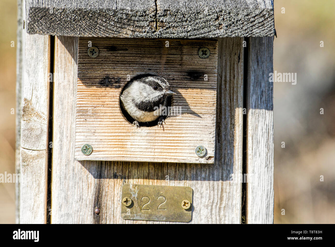 A tiny Mountain Chickadee pops its head out of a bird house at Farragut State Park in north Idaho. - Stock Image