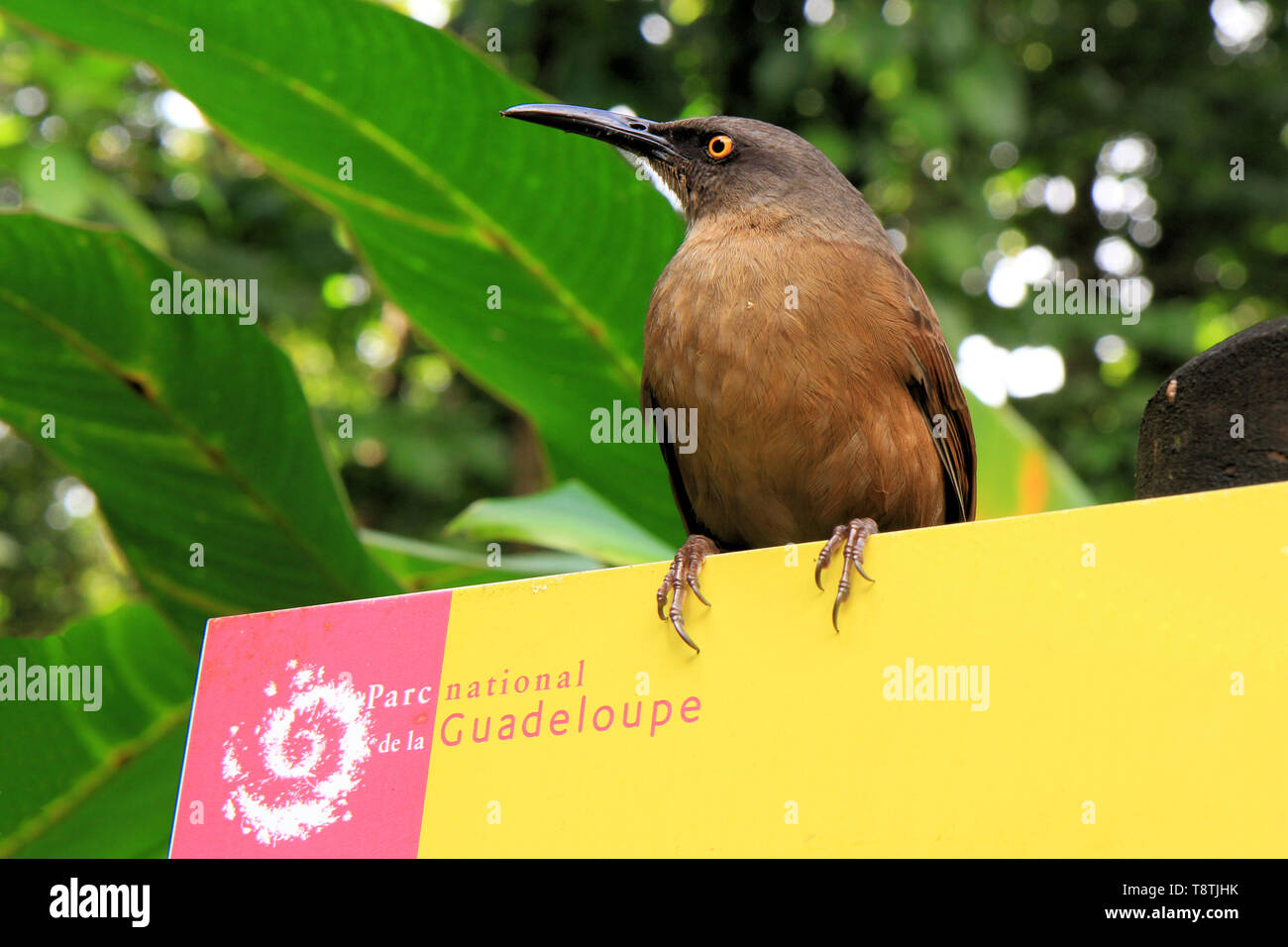 Brown trembler on a Guadeloupe National Park sign, Grande-Terre, Guadeloupe, Caribbean islands, France - Stock Image