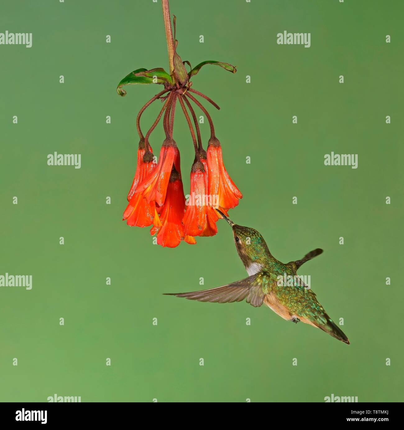Volcanic elf (Selaphorus flammula) in flight, drinking nectar on a red flower, Costa Rica - Stock Image