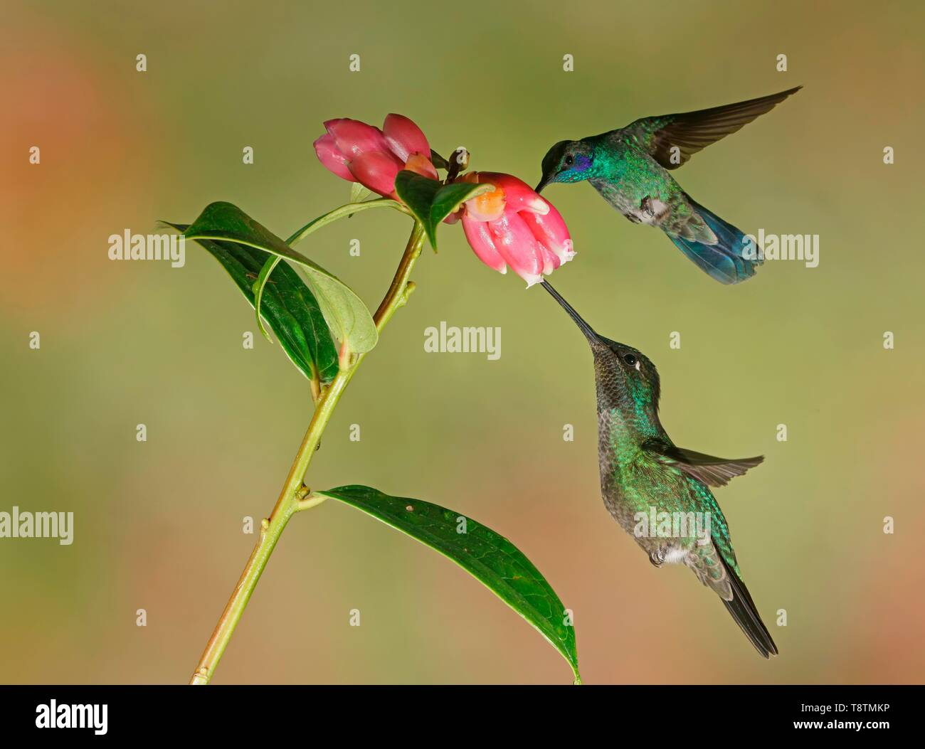 Mexican violetear (Colibri thalassinus) and Fiery-throated hummingbird (Panterpe insignis) in flight, drink nectar on pink flower, Costa Rica - Stock Image