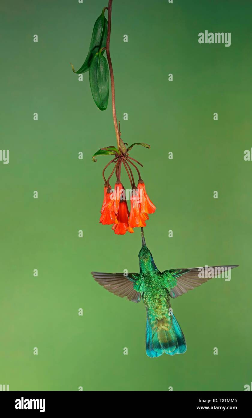 Mexican violetear (Colibri thalassinus) in flight, drinking nectar on a red flower, Costa Rica - Stock Image