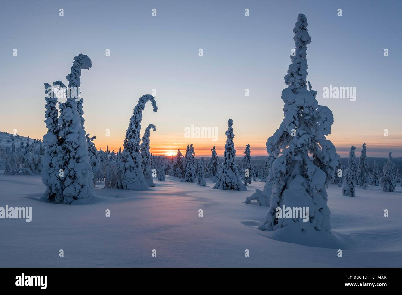 Snow-covered spruces, winter landscape at sunset, Riisitunturi National Park, Posio, Lapland, Finland - Stock Image