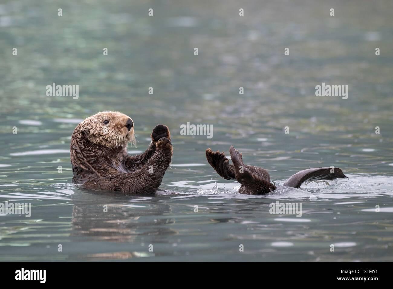 Sea otter (Enhydra lutris) floats on back, Seward, Alaska