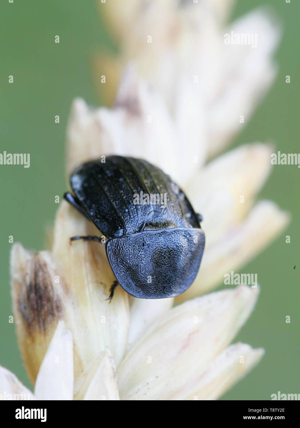 Phosphuga atrata, European carrion beetle - Stock Image