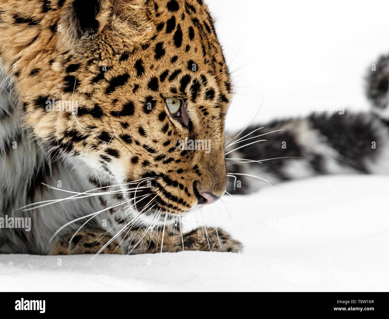 The Amur leopard is a leopard subspecies of SE Russia and NE China. It is Critically Endangered with approximately 60 left in the wild. - Stock Image