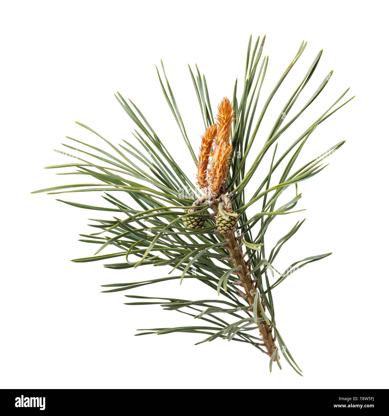 Pine branch with cones isolated on white background - Stock Image