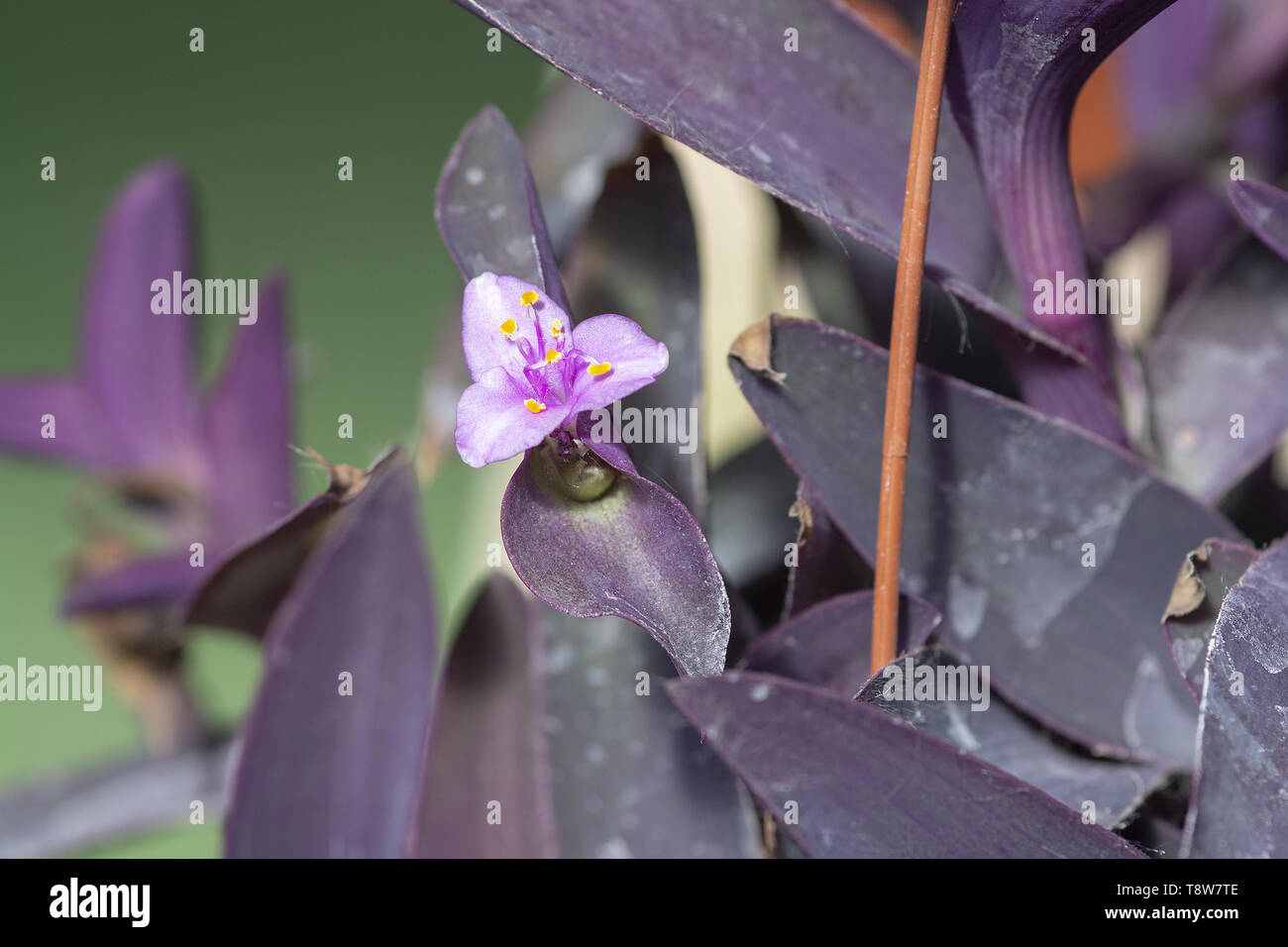 Purple tradescantia plant with pink little flower closeup macro photo. Other names are wandering jew or purple queen - Stock Image
