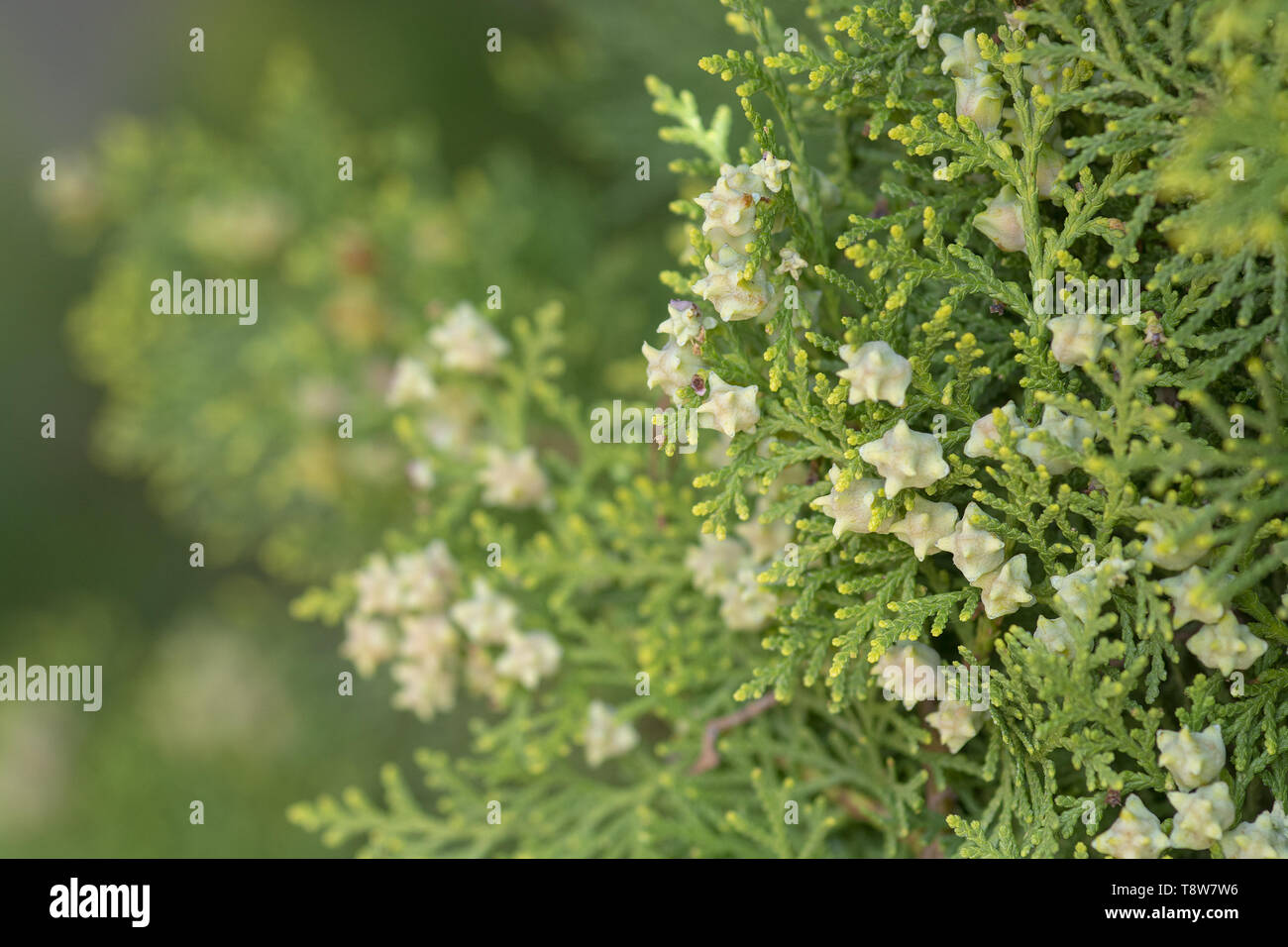 Cedar vegetation closeup with white little berries or fruits focus foreground. - Stock Image