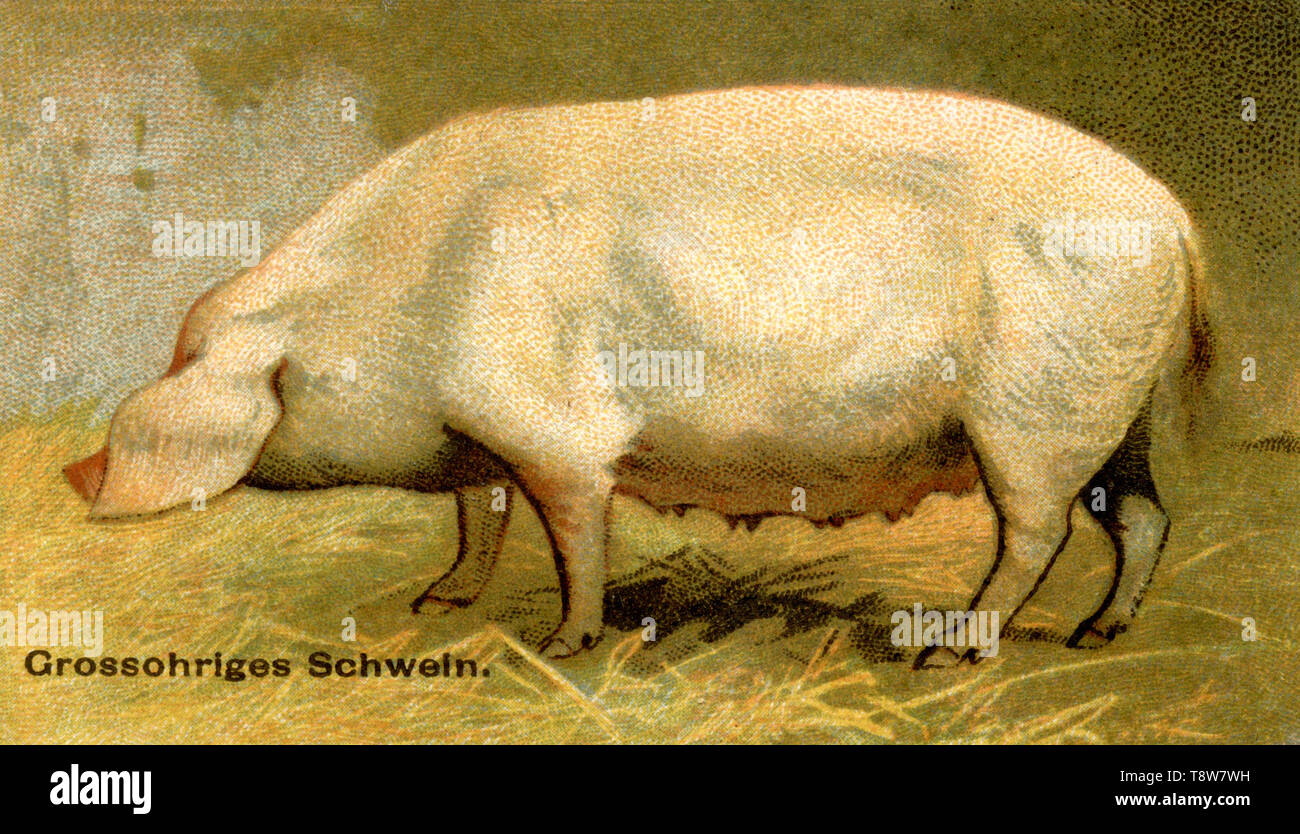Domestic pig, pig breed: Large-eared pig Sus scrofa domesticus,  (agricultural book, 1898) - Stock Image