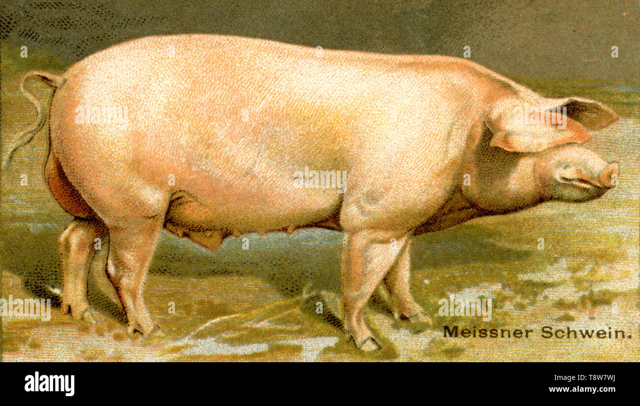 Domestic pig, Pork breed: Meissner pig Sus scrofa domesticus,  (agricultural book, 1898) - Stock Image