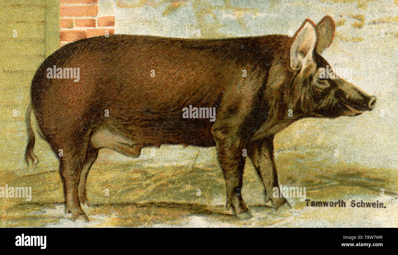 Domestic pig, Pork breed: Tamworth pig Sus scrofa domesticus,  (agricultural book, 1898) - Stock Image
