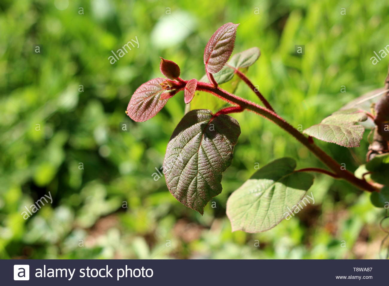 Dark green to red leathery leaves and hairy stem of Kiwi or Kiwifruit woody vine plant planted in local garden - Stock Image